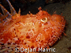 This scorpionfish made me descend deeply and get some dec... by Dejan Mavric 